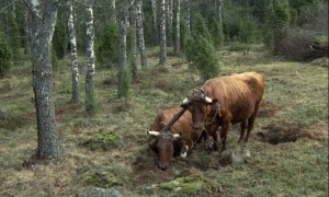 The ground is so inhospitable that even the oxen are exhausted in Jan Troell's The Emigrants (1971)