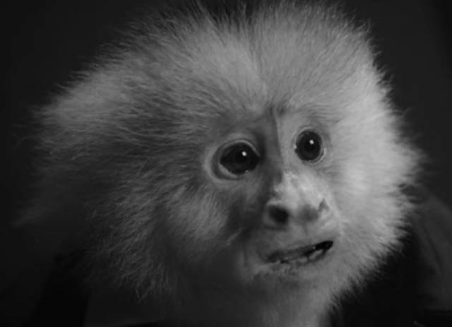 The suspect is Jack Cruz, a Capuchin monkey in David Lynch's What Did Jack Do? (2017)